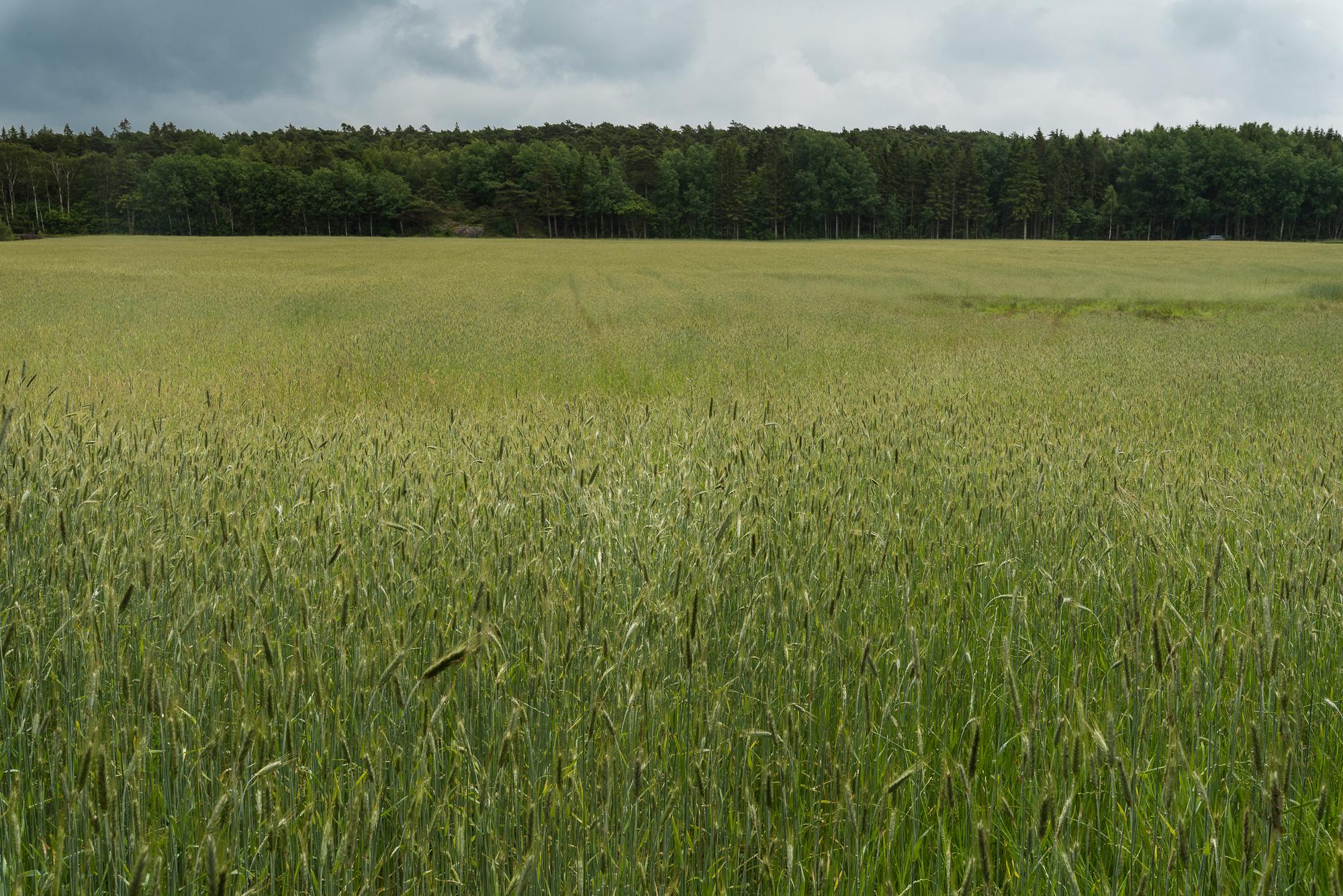 Barley-001.jpg